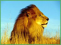 Leone il re della foresta africana