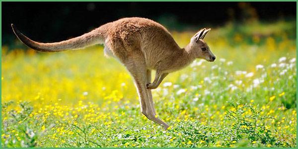 Il canguro animale australiano per eccellenza